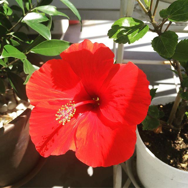 夏はまだまだ終わらせないよ?笑ハイビスカスまだまだ咲きます・・#犬太郎ガーデン #犬太郎#hibiscus #ハイビスカス#嬉しくなる赤 (Instagram)