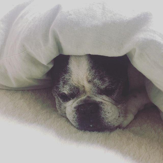 寒い朝だったねおーい朝ごはんできたよーと探したけど見つからず。よく見たらもぐっていた笑・ごはんだよーと声かけたら手を伸ばしたけどまた寝た・・#犬太郎#ねぼ太郎#シニア犬 #12歳 #いぬすたぐらむ (Instagram)