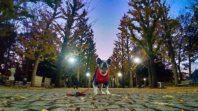 まだまだイケてる12歳犬太郎さんかっこえぇよ・・#洞峰公園 #犬太郎ガーデン #犬太郎#あなたと愛犬の今を残します #マジックアワー #紅葉2019 #シニア犬 #フレンチブルドッグ#やっぱり写真家に撮ってもらうと違うね (Instagram)
