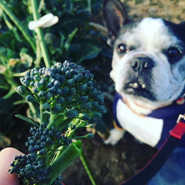 スティックブロッコリー夜ご飯用にとってるのにかじろうとするので自分で取りなさいっ!と言ったら。はい、言いましたけども。ほんとにじかにかじりまくる犬太郎無農薬だから安心だー大根はなんかへんな形・・#相変わらずベジ犬#犬太郎 #犬太郎ガーデン#アニマルヒューマンコミュニケーション#無農薬は美味しい#とれたてうまうま#シニア犬 #13歳 (Instagram)
