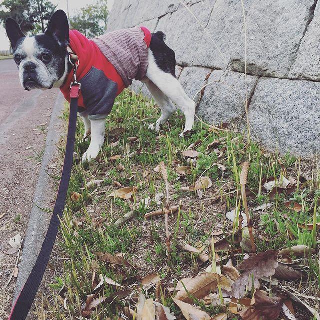 フーテンの寅さん!と言われた犬太郎の腹巻姿笑素敵ジジィやろ?・お気に入りの公園桜はまだまだだったけどつくしがこんなに伸びてたよ!春はすぐそこ・・#犬太郎ガーデン #犬太郎#つくし#もうすぐ春 #シニア犬 #13歳#歯石取り頑張ったよ #ご褒美はりんご (Instagram)
