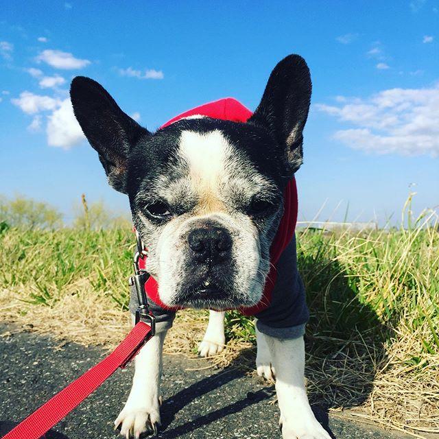 ポカポカさんぽ最近散歩中に疲れて休憩するよ無の表情・草食べてるとき馬づらになってるよー・ブロッコリーお花咲いちゃった🥦ん?なぬ!ひそかにまた食べてる犬太郎笑・・#今日も平和だ#犬太郎 #犬太郎ガーデン#シニア犬 #13歳 #フレンチブルドッグ (Instagram)
