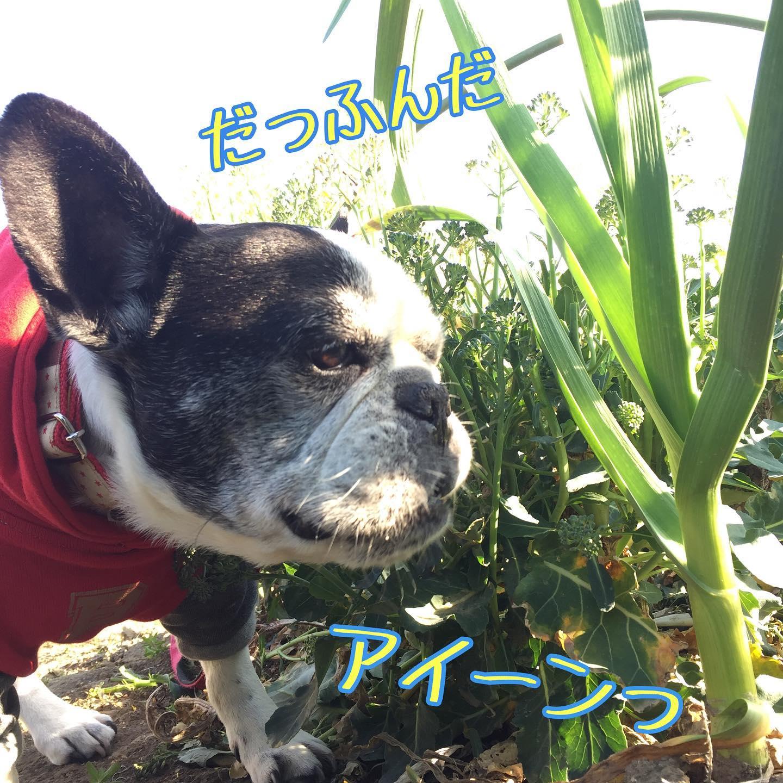 アイーンっ(⌒▽⌒)笑わが家のケンさま・・#アイーン#犬太郎 #犬太郎ガーデン#今日も平和だ#フレンチブルドッグ #シニア犬 #13歳#frenchbulldog (Instagram)